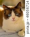 snowshoe cat portrait 46056714
