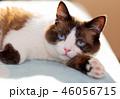 snowshoe cat portrait 46056715