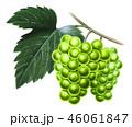 マスカット 果実 ぶどうのイラスト 46061847