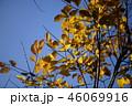 エノキの紅葉 46069916