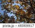 エノキの紅葉 46069917