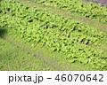 野菜 大根 根菜の写真 46070642