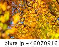 紅葉 イロハモミジ 楓の写真 46070916