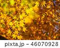 紅葉 イロハモミジ 楓の写真 46070928