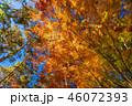 紅葉 イロハモミジ 楓の写真 46072393