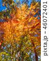 紅葉 イロハモミジ 楓の写真 46072401