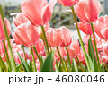 チューリップ畑 チューリップ ユリ科の写真 46080046