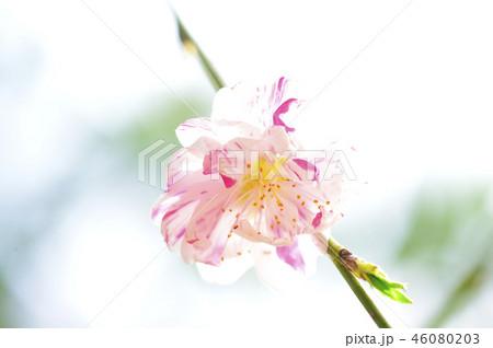 3月の春に華やかに咲くピンクと白のまだら模様の綺麗な花桃の花のクローズアップ 46080203