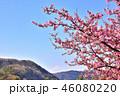 満開 桜 春の写真 46080220