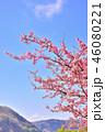 満開 桜 春の写真 46080221
