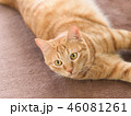 カーペットに寝転ぶ茶トラ猫のムギ 46081261