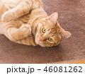 カーペットに寝転ぶ茶トラ猫のムギ 46081262
