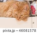テーブルの上にのった茶トラ猫のムギ 46081578
