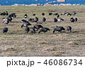 Flock with migrating Brent Geese 46086734