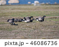 Flock with grazing Brent Geese 46086736