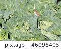 鳥類 野鳥 鳥の写真 46098405
