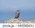 イソヒヨドリ 野鳥 鳥の写真 46098431