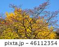 紅葉したハナミズキの実とイチョウのコラボ 46112354