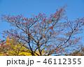 紅葉したハナミズキの実とイチョウのコラボ 46112355