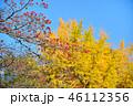 紅葉したハナミズキの実とイチョウのコラボ 46112356