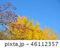 紅葉したハナミズキの実とイチョウのコラボ 46112357