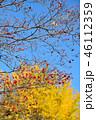 紅葉したハナミズキの実とイチョウのコラボ 46112359