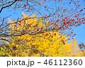 紅葉したハナミズキの実とイチョウのコラボ 46112360