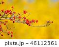 紅葉したハナミズキの実とイチョウのコラボ 46112361