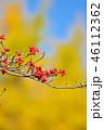紅葉したハナミズキの実とイチョウのコラボ 46112362