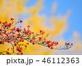 紅葉したハナミズキの実とイチョウのコラボ 46112363