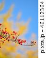 紅葉したハナミズキの実とイチョウのコラボ 46112364