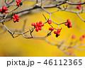 紅葉したハナミズキの実とイチョウのコラボ 46112365