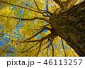 銀杏 大木 秋の写真 46113257