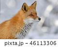 キタキツネ 狐 動物の写真 46113306