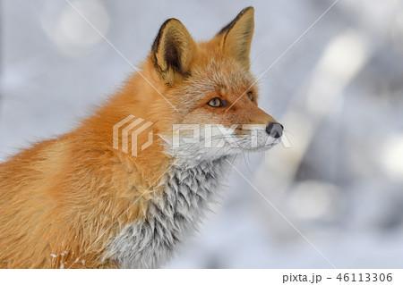 冬のキタキツネ 46113306