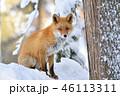 キタキツネ 狐 動物の写真 46113311