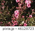 桃色の可愛い花はギョリュウバイ 46120723