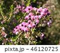 可愛い小さい桃色の花エリカ 46120725