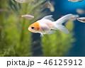 金魚(丹頂) 46125912