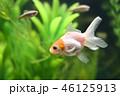 金魚(丹頂) 46125913