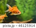 金魚 46125914