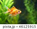 金魚 46125915