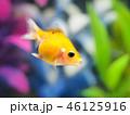 金魚(ピンポンパール) 46125916