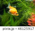 金魚(ピンポンパール) 46125917