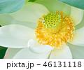 蓮の花 蓮 花の写真 46131118