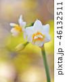 八重咲き水仙 花 スイセンの写真 46132511