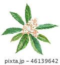 ビワの花 木 46139642