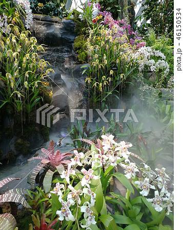 オンシジウム 群雀蘭 白い花 植物 Oncidium White Flower 46150534