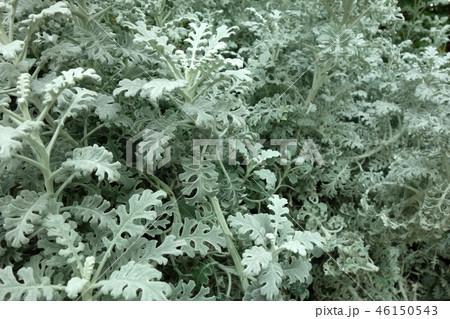 シロタエギク 植物 ガーデニング Dusty miller White leafed 46150543