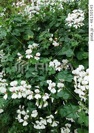 オンシジウム 白い花 植物 Oncidium White Flower 46150545